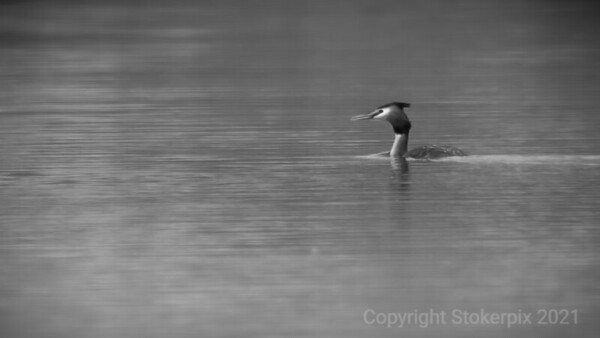 Great Crested Grebe, Taplow