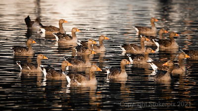 Greylags in formation