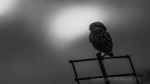Ariel Manouvres of a Little Owl