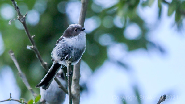 Long Tailed Tit 03