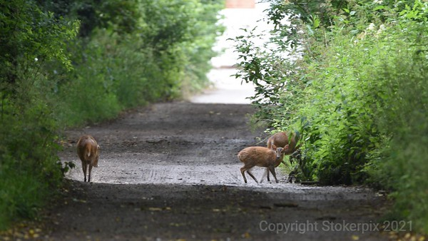 The Muntjac Family