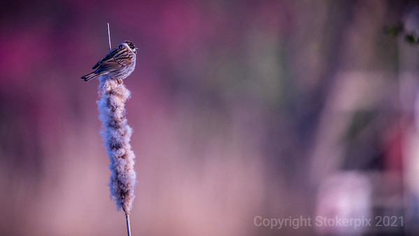 Reed Bunting on a Reed