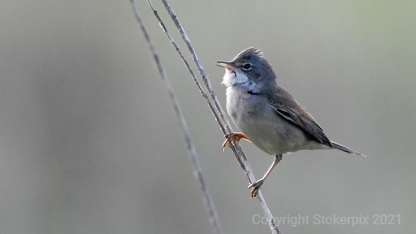Whitethroats of May