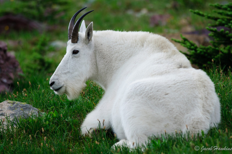 Mountain Goat in the Grass