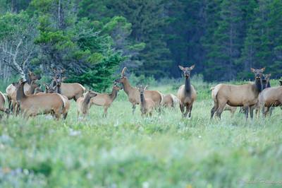 Cow Elk sentry