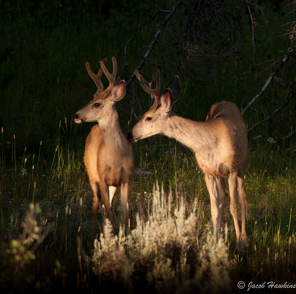 Mule Deer at sunset