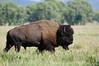Grand Tetons Bull Bison