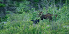 Black bear and Shiras Moose