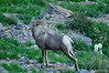 Bighorn Sheep in bear grass