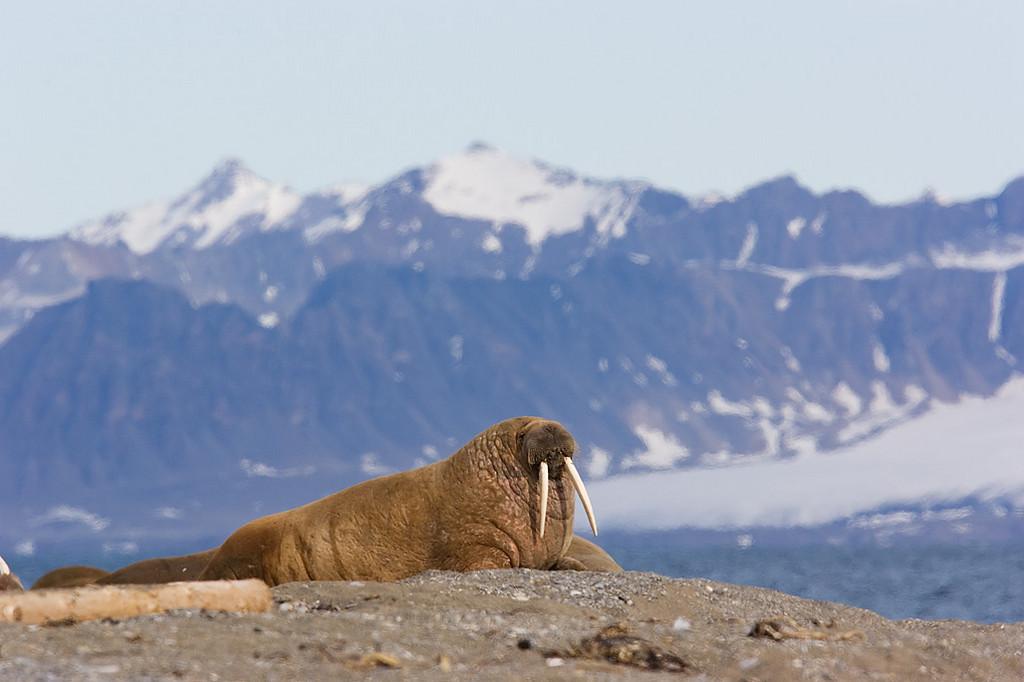 Pictures of Birds and Animals Spitsbergen June 2007.