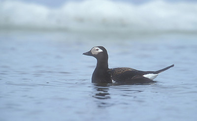 Long Tail Duck Female.