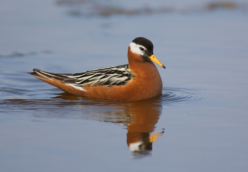Grey Phalarope in summer plumage. John Chapman.