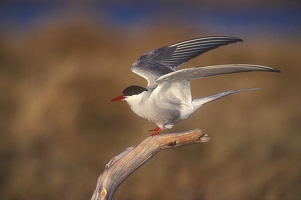 Arctic Tern. John Chapman.