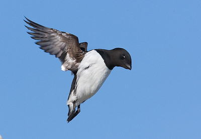 Little Auk. John Chapman.