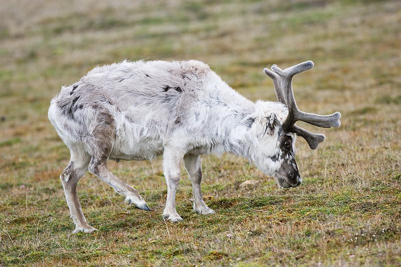 Reindeer in velvet.