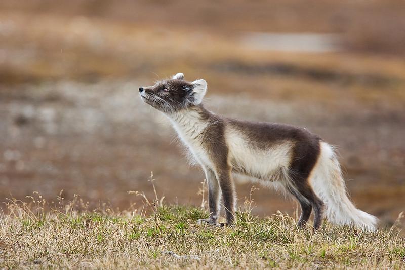 Arctic Fox Sniffing. John Chapman.