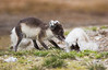 Arctic Fox eating a dead arctic fox. John Chapman.
