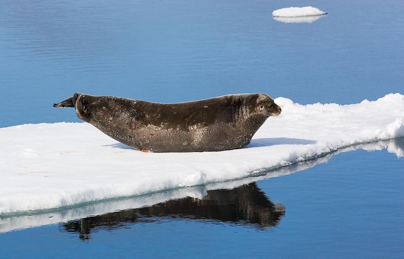 Ringed Seal. John Chapman.