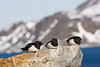 Little Auks. Spitsbergen. John Chapman.