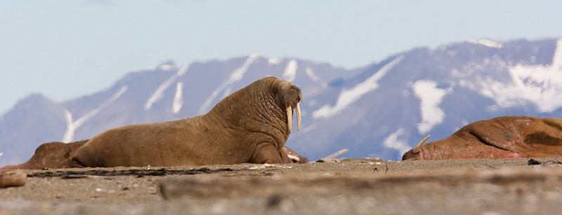 Walrus. John Chapman.