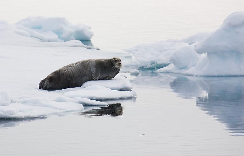 Bearded Seal. John Chapman.
