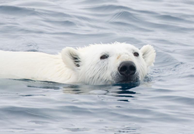 Polar Bear Swimming. John Chapman.