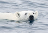 Polar Bear Swimming. John Chapman.