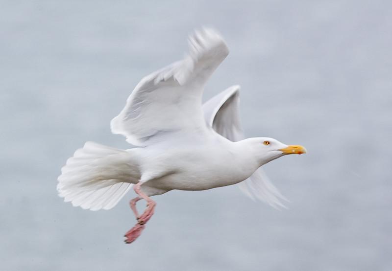 Glaucous Gull.