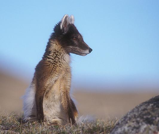 Arctic Fox. John Chapman.