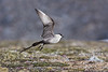 Long Tail Skua.