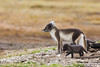 Arctic Fox with Cubs. John Chapman.