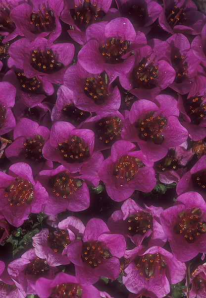 Purple Saxifrage.  John Chapman.