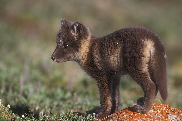 Arctic Fox Cub. John Chapman.