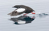 Guillemot walking on water. John Chapman.