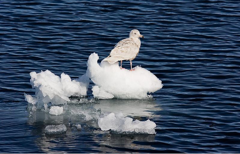 Glaucus Gull Second Winter. John Chapman