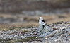 Male Snow Bunting.