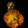 Poppy / Pavot # 2