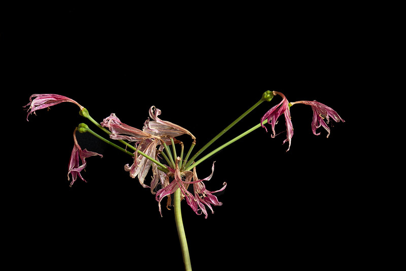 African Lily / Agapanthe # 1