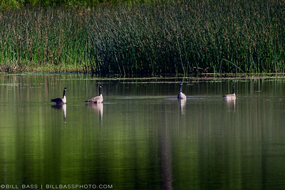 Canadian Geese (Branta canadensis) in shallow lakes along the Spring Creek Nature Trail in The Woodlands, Texas.