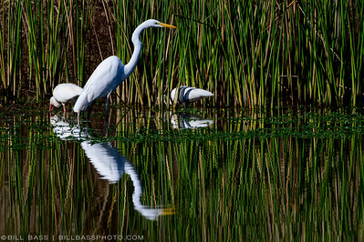 Great Egret (Ardea alba) and White Ibis (Eudocimus albus) feeding among the reeds and shallow waters along the Spring Creek Nature Trail.