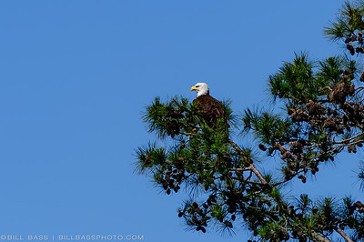 A Bald Eagle (Haliaeetus leucocephalus) sits atop a tree along the Spring Creek Nature Trail in The Woodlands, Texas.