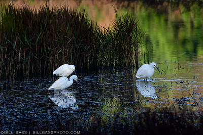 Snowy Egrets (Egretta thula) feedling in shallow water along the Spring Creek Nature Trail.