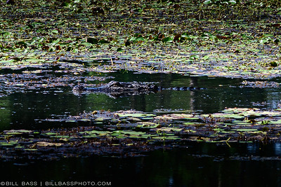 American Alligator (Alligator mississippiensis) resting in water along the Spring Creek Greenway. Once on the verge of extinction, American Alligators have made a comeback over the past 30 years due to protection and conservation efforts.