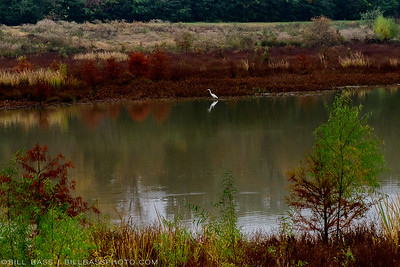 A Great Egret (Ardea alba) stands in a shallow lake amidst fall colors on the Spring Creek Nature trail in The Woodlands.