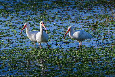 White Ibis (Eudocimus albus) feeding in shallow lake waters along the Spring Creek Nature Trail. The American White Ibis held an important place in Native American folklore, which said that ibis are the last to seek shelter before a storm and the first to emerge after. Thus, it became a symbol for both danger and safety.