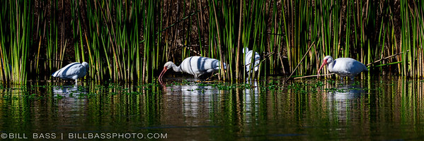 White Ibis (Eudocimus albus) feeding along the reeds and shallow waters of the Spring Creek Nature Trail.