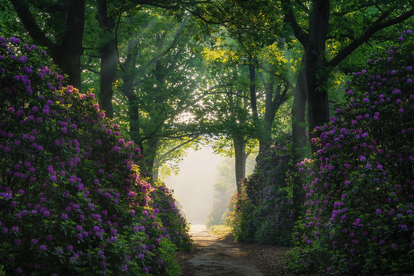 The rhododendron lane