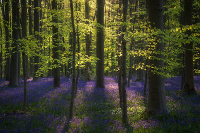 Fresh green and bluebells