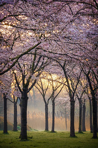Cherry trees at sunrise