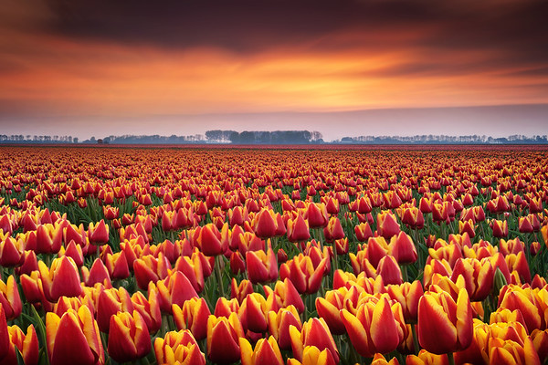Dramatic tulips...